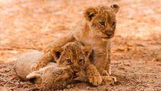 Lion, Chongwe, Zambia