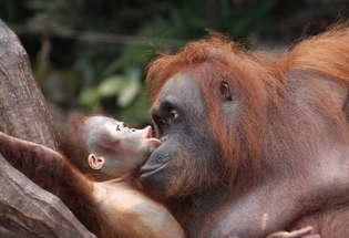 Borneo, orangutans