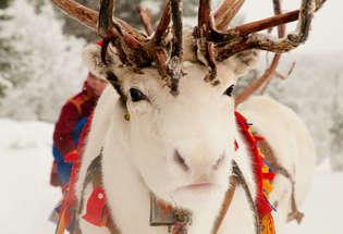 Reindeer, Sweden