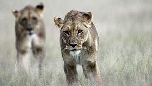 lions_314_179