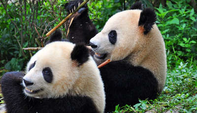 Pandas, Chengdu, China