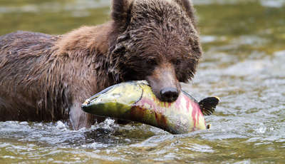 Bears in the Great Bear Rainforest, British Columbia, Canada