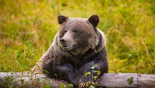 Bear in the Great Bear Rainforest, British Columbia, Canada