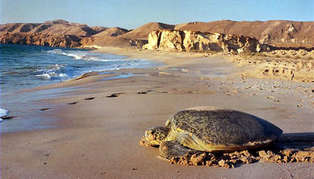 turtle on beach_314_179