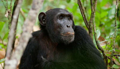 Chimps in NYUNGWE