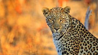Leopard, Zimbabwe