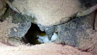 Ras Al Jinz Turtle Reserve, Oman