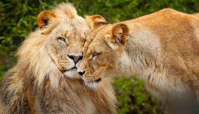 lionsshutterstock671103961_400_230