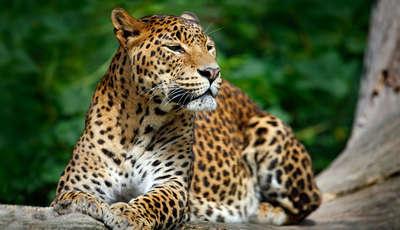 leopardssrilankashutterstock351667181_400_230