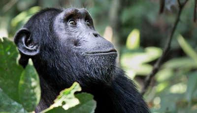 Chimp, Kibale Forest, Uganda