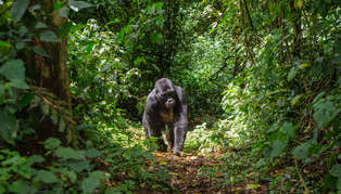 Bwindi Impenetrable Forest, Uganda