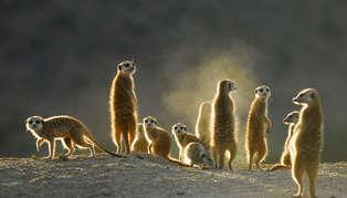 meerkats_314_179